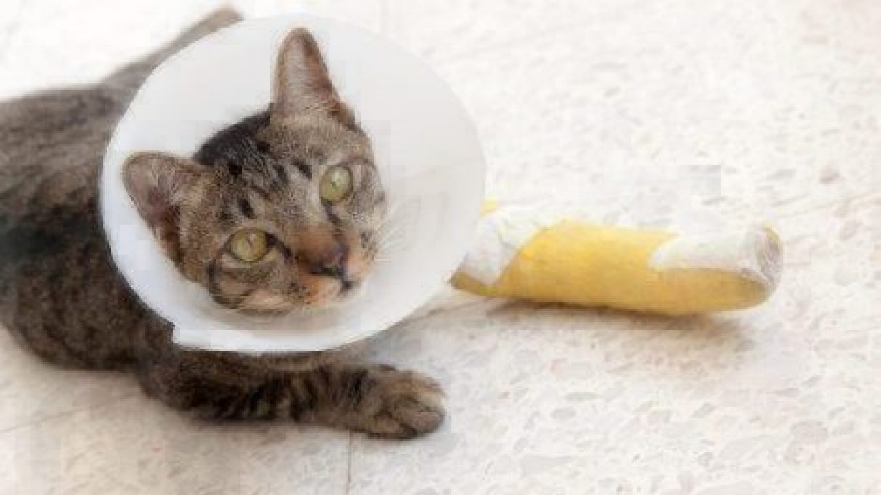 Bone Fractures In Cats And Kittens Healthy Paws Pet Insurance