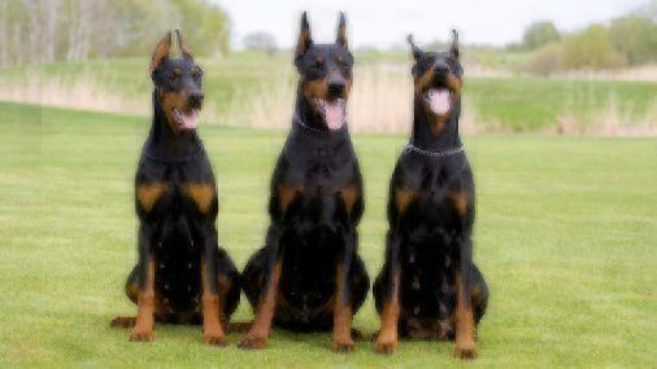 Dog Facts Doberman Pinschers Healthy Paws