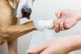 Dog injury getting paw wrapped with bandage