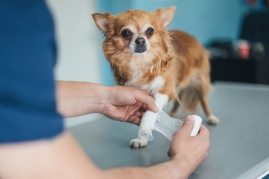 chihuahua at vet with leg cast