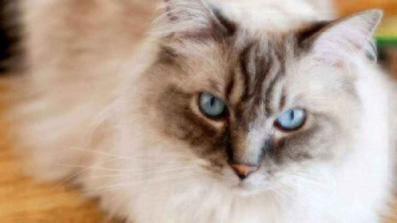 Cat Facts Ragdoll Cats Healthy Paws