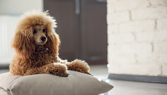 Dog Facts Poodles Healthy Paws Pet Insurance