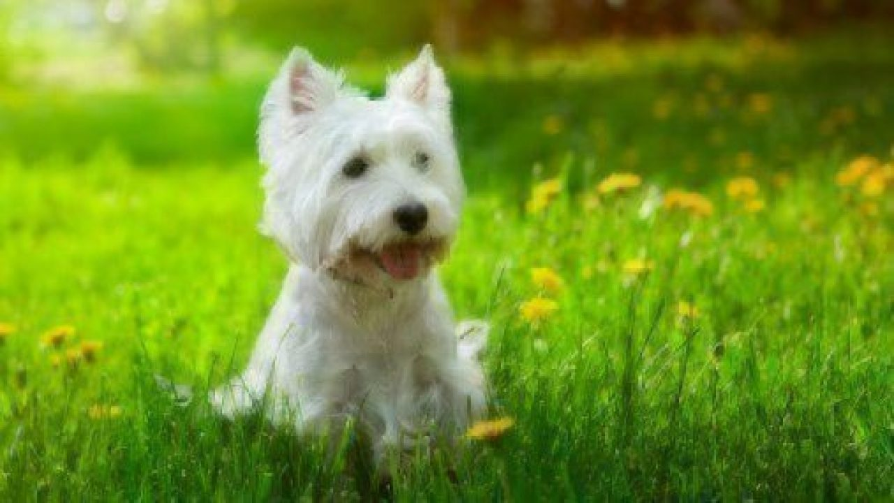 Dog Facts Westies Healthy Paws
