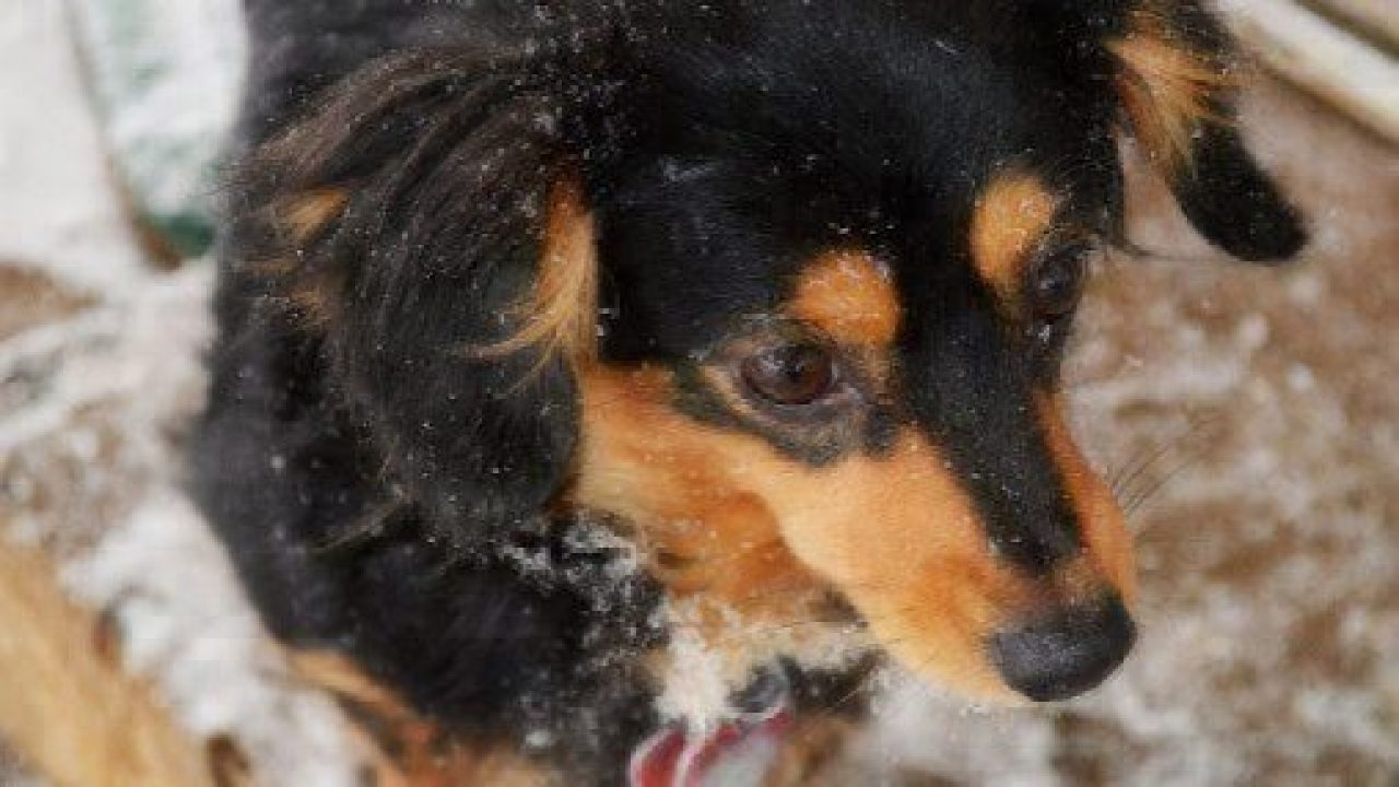 What is a Chiweenie? | Healthy Paws Pet Insurance