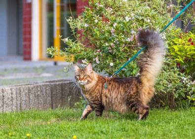 cat on a walk outside