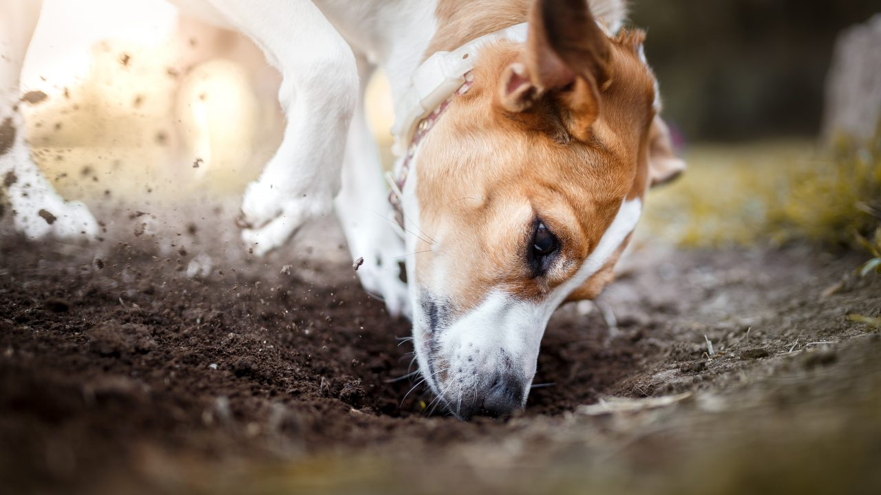 Coccidia In Cats And Dogs Healthy Paws Pet Insurance