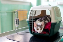 scared cat in a carrier