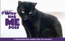 black cat adoptable