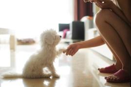 white puppy training