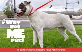 adoptable dog white pit bull mix