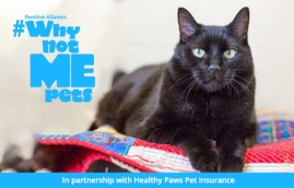 adoptable black cat oscar