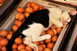 Cat laying on eggs