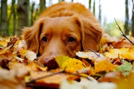 Dog lying in leaves