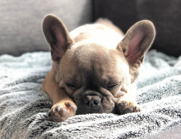 Karl the Frenchie sleeping