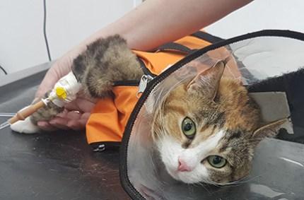 Cat getting blood