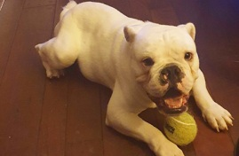 Walter the bulldog