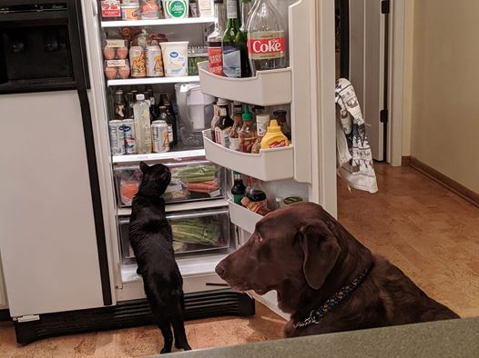 cat and dog looking in fridge
