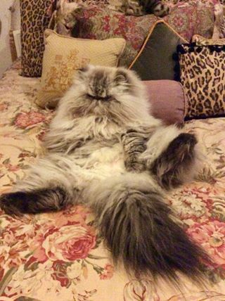 fluffy relaxed cat belly