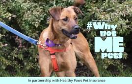 adoptable dog in WA