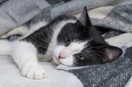 sick cat sleeping under blanket