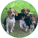 Kerry Beagles