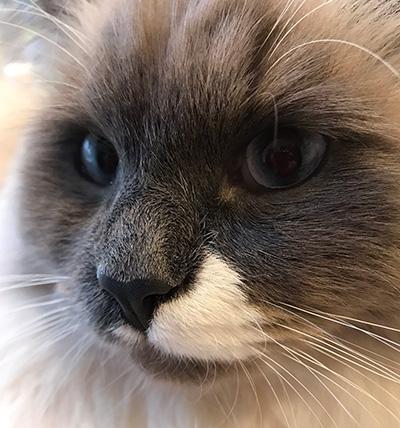 Blue the cat