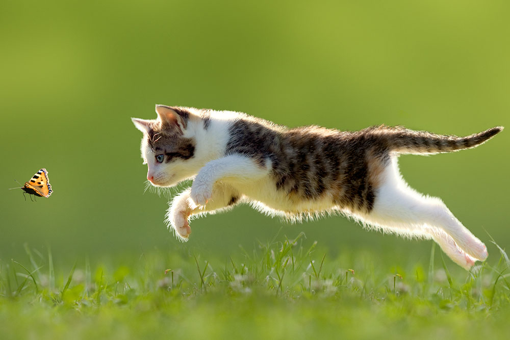 Cat chasing a butterfly: Bugs are a spring hazard for pets