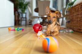 Dog with toys