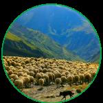 Dog guarding sheep
