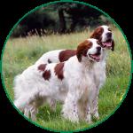 Red and white Irish dog