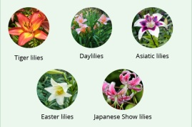 Toxic lilies for cats