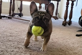 Ragnar the French Bulldog