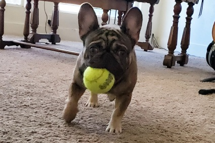 Ragnar the French Bulldog