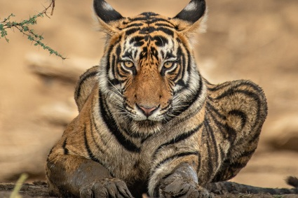 A tiger at the Bronx Zoo contracted Covid-19