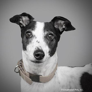 Summer the greyhound