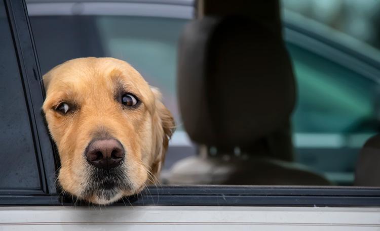 Anxious dog in car