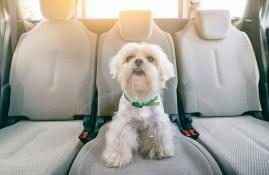 Little dog in car.
