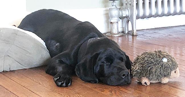 Leo the lab puppy