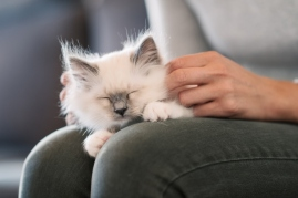 kitten on a person's lap