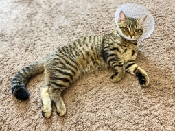 kitten with cone collar