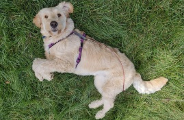 Mandy the Goldendoodle