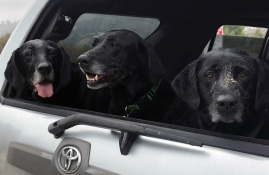 Three old black labs