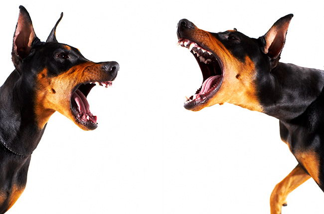 Dogs barking at each other