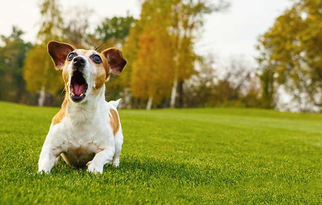 Dog play barking