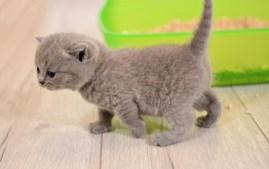 gray kitten next to litter box