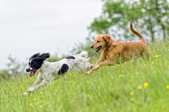 Dogs running in grass