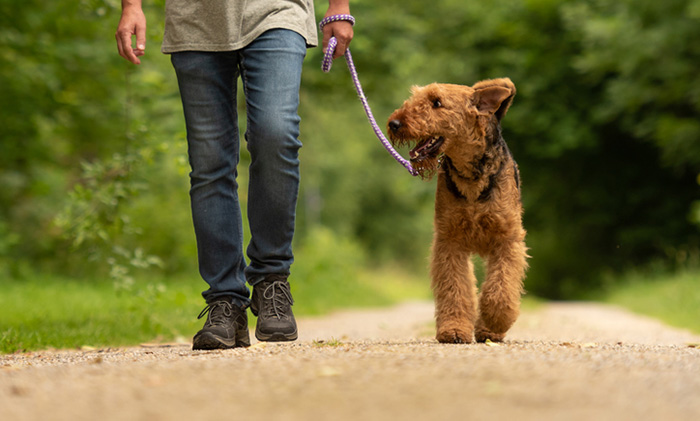 Dog heeling with owner