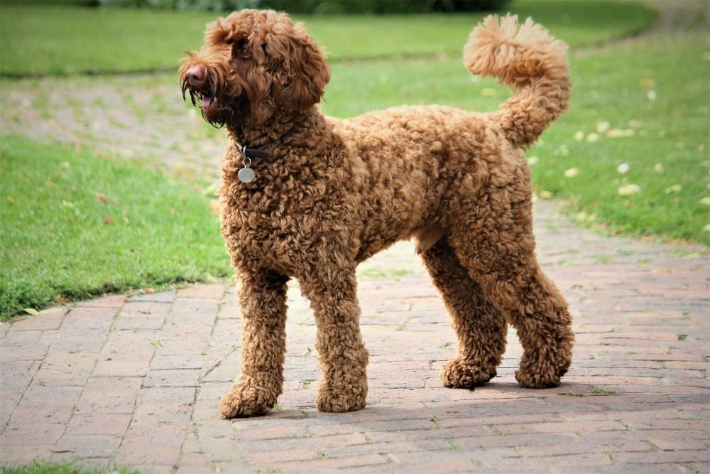 brown labradoodle dog outside