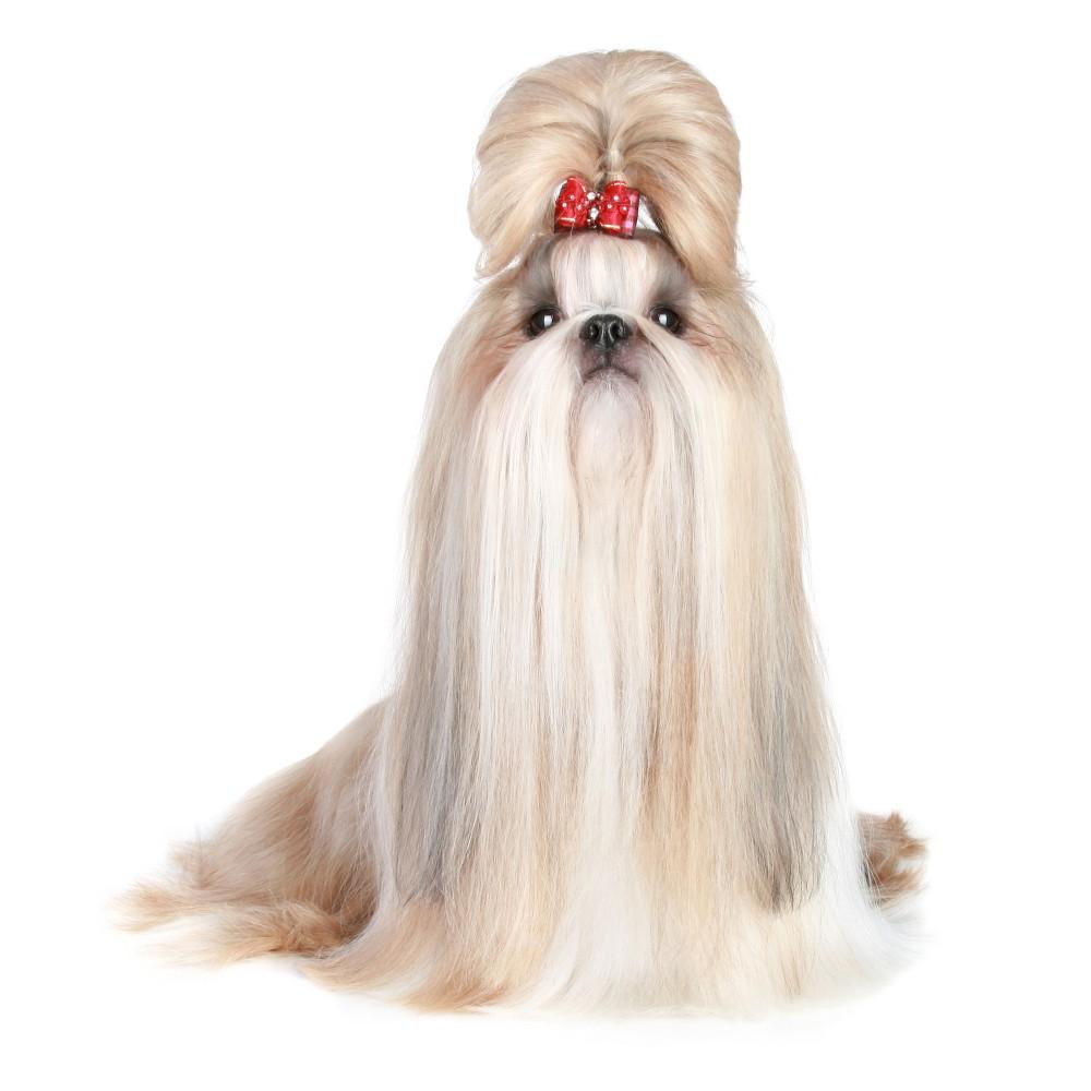 long haired shih tzu dog