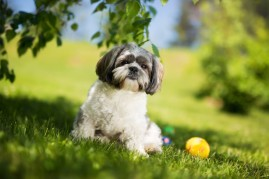 shih tzu dog in grass